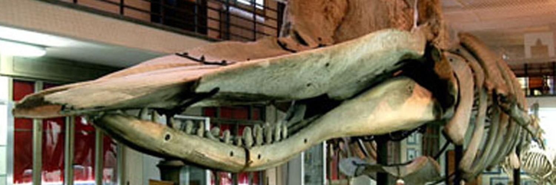 Museo di Anatomia Comparata Ercole Giacomini