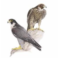 Falco pellerino