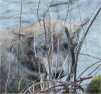 Camugnano: lupo ferito soccorso dalla Polizia provinciale
