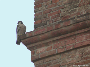 Foto: Falco pellegrino in Piazza Maggiore a Bologna