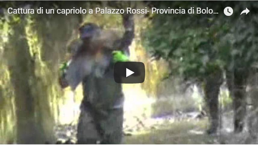 Cattura di un capriolo a Palazzo Rossi