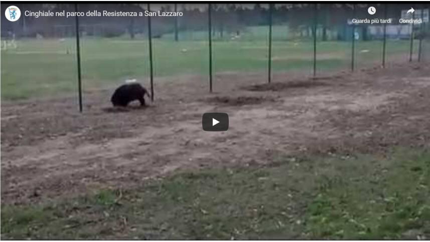 Cinghiale nel parco della Resistenza a San Lazzaro