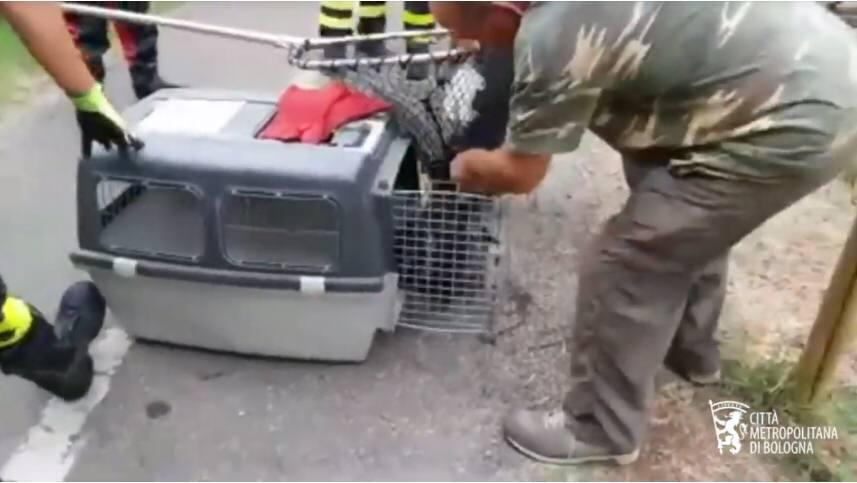 Tasso salvato dalle acque del canale del Reno dalla Polizia locale della Città metropolitana e dai sommozzatori dei Vigili del fuoco