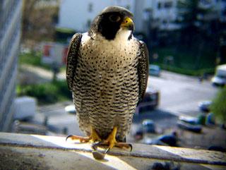 Adulto al nido, apr 2004 (foto P. Taranto)