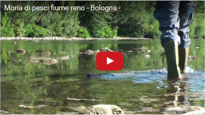Moria di pesci nel fiume Reno - Bologna