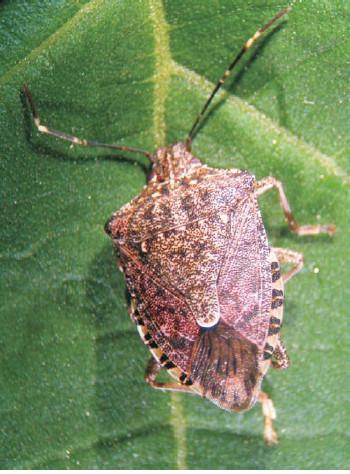 Cimice asiatica (Halyomorpha halys)
