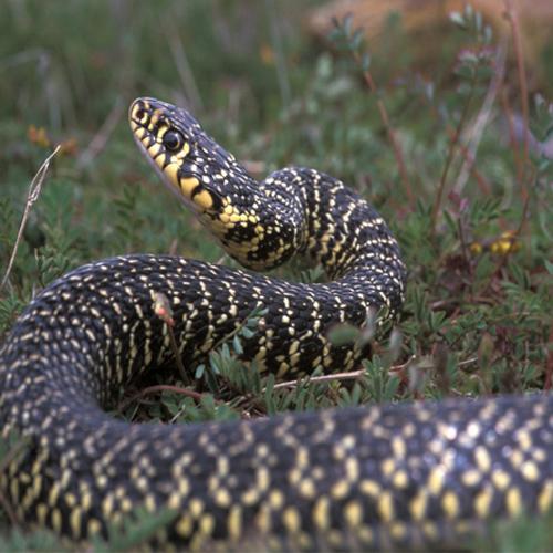 Come distinguere una vipera da un altro serpente non velenoso? Alcuni consigli utili nella guida redatta dalla Polizia provinciale