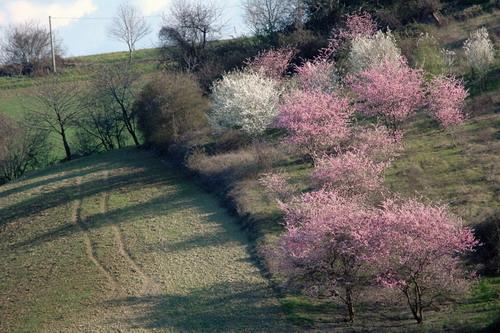 Fioriture primaverili nella collina ozzanese