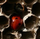 Coccinella in cella