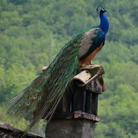 Il Pavone di Villa D'Aiano