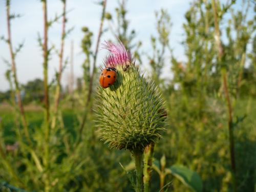 16/07/2010 - Cocinella e formica su un fiore di cardo selvatico. Foto scattata da Daniele Magagni a Lovoleto - Granarolo